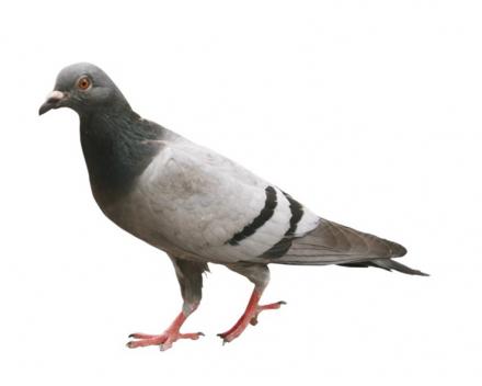 Agfa-Gevaert gibt Tauben die Pille (Quelle: GVA, Foto: Belga)