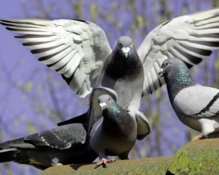 Vets For City Pigeons zet proefproject in Brussel op (Bron: BRUZZ, foto: ANP)