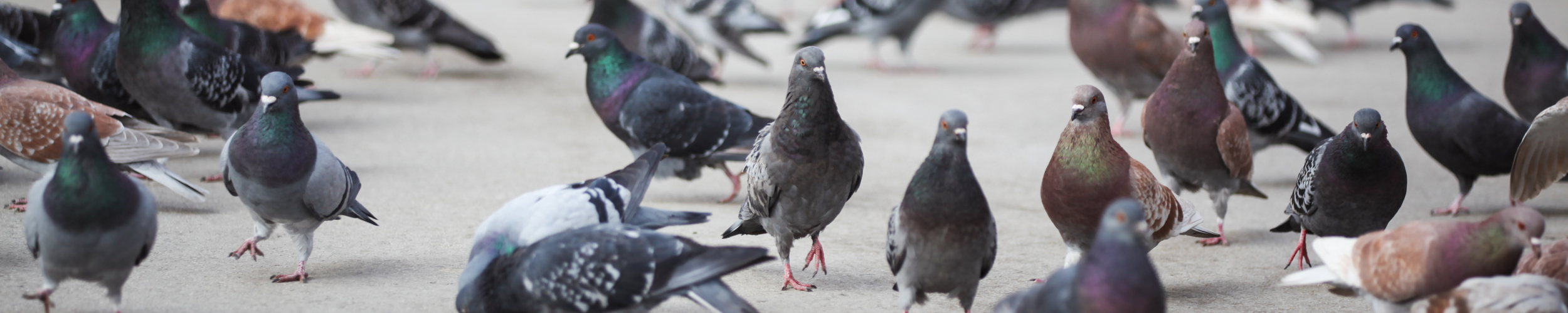 Belästigungen durch Tauben